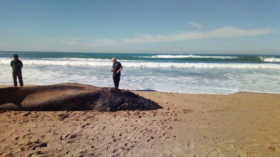 Apareció una ballena muerta en la costa y realizan un importante operativo para enterrarla